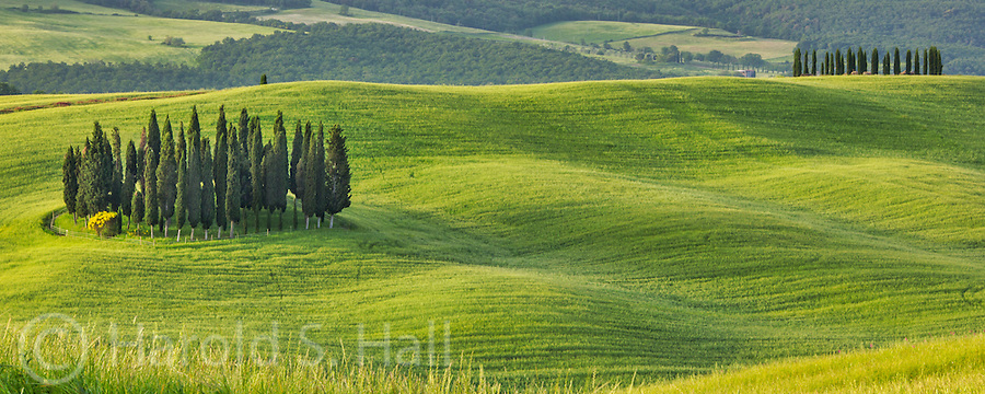 Cypress trees are are common part of the Tuscan landscape.  The trees can live over a thousands years and are full of oils that make the trees very fragrant.  They were thought to have supernatural powers so were often planted around graves, homes and churches.