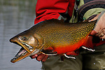 Monster brook trout