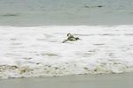 Sanderling, Orond Beach