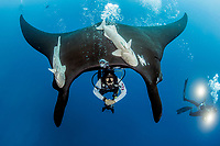 giant oceanic manta ray, Mobula birostris, formerly Manta birostris, hovering over a scuba diver to have his bubbles caress its underside, Socorro Island, Revillagigedo Islands, Mexico, Pacific Ocean - this is the only location in the world where giant oceanic manta rays are known to exhibit this behavior