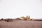 Atlantic Ghost Crab (Ocypode quadrata) at burrow, Tortuguero National Park, Costa Rica