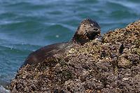 marine otter, chungungo, Lontra felina, Chiloe Island, Chile, eating a crab