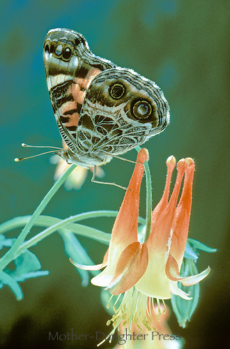 Painted lady, Vanessa virginensis, butterfly on columbine flower
