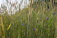 Roggen mit Kornblumen im Feld, Saat-Roggen, Roggenanbau, Roggenfeld, Acker, Secale cereale, Rye. Hamfelder Hof, Schleswig-Holstein