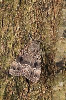 Pyramideneule, Pyramiden-Eule, Amphipyra pyramidea, Noctua pyramidea, Copper Underwing, Humped Green Fruitworm, Pyramidal Green Fruitworm, La Noctuelle cuivrée, la Pyramide. Eulenfalter, Noctuidae, noctuid moths, noctuid moth