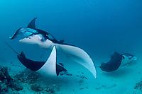 reef manta rays, Mobula alfredi, being cleaned by moon wrasses, Thalassoma lunare, and blue-streak cleaner wrasses, Labroides dimidiatus, Hanifaru Bay entrance, Hanifaru Lagoon, Baa Atoll, Maldives, Indian Ocean