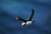 Atlantic Puffin, Fratercula arctica, adult in flight, Hornoya Nature Reserve, Vardo, Norway, June 2001
