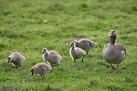 Grau-Gans, Altvogel mit Küken auf Wiese, Grau-Gans, Grau - Gans, Anser anser, Greylag Goose, graylag goose, grey lag goose, Oie cendrée