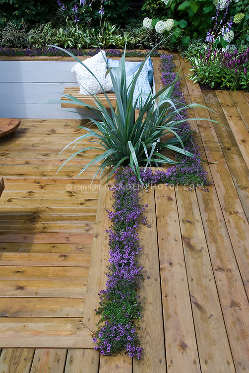 Thymes (Thymus) in bloom planted in deck crevices