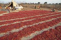 INDIA Madhya Pradesh, spices, women dry red chilies in sun at farm / INDIEN Madhya Pradesh, Gewuerzpflanzen, Frauen trocknen rote Chili Schoten in der Sonne