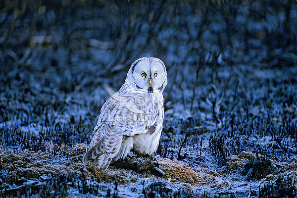 Great gray owl on frosty early winter morning.  Area shows signs of recent forest fire.