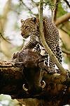 Leopard with warthog kill, Lake Nakuru National Park, Kenya
