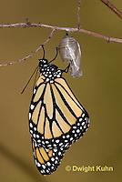 MO04-562z    Monarch emerging from chrysalis,  Danaus plexipuss