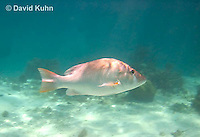 0115-1204  Dog Snapper (Dogtooth Snapper) in Caribbean Reef, Gamefish, Lutjanus jocu  © David Kuhn/Dwight Kuhn Photography