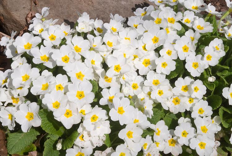 Primula Piano White  primroses in spring bloom