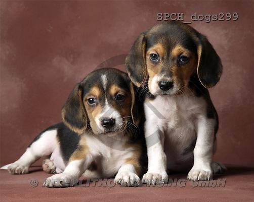 Xavier, ANIMALS, dogs, photos(SPCHdogs299,#A#) Hunde, perros