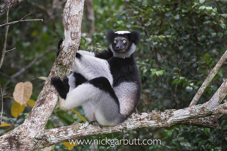 Adult Indri (Indri indri) in the rainforest canopy. Andasibe-Mantadia National Park, eastern Madagascar.
