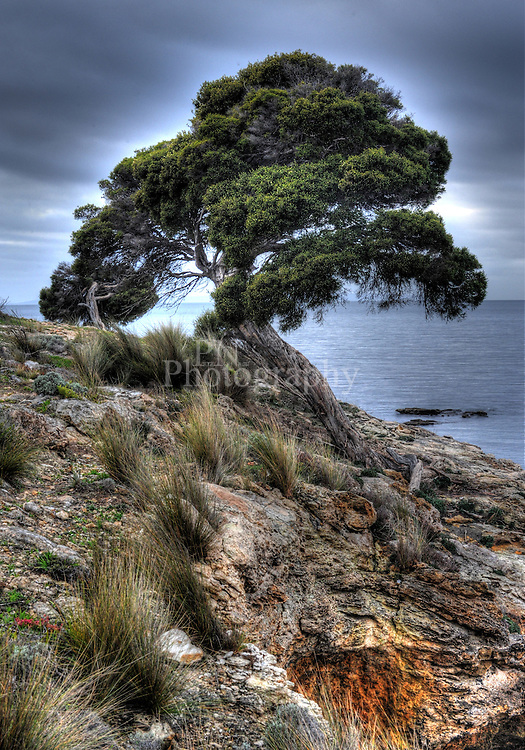 Kingscote Kangaroo Island has a massive  fully grown Bonsai beside the ocean