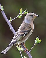 Bergfink, Berg-Fink, Weibchen, Fringilla montifringilla, brambling, Pinson du Nord