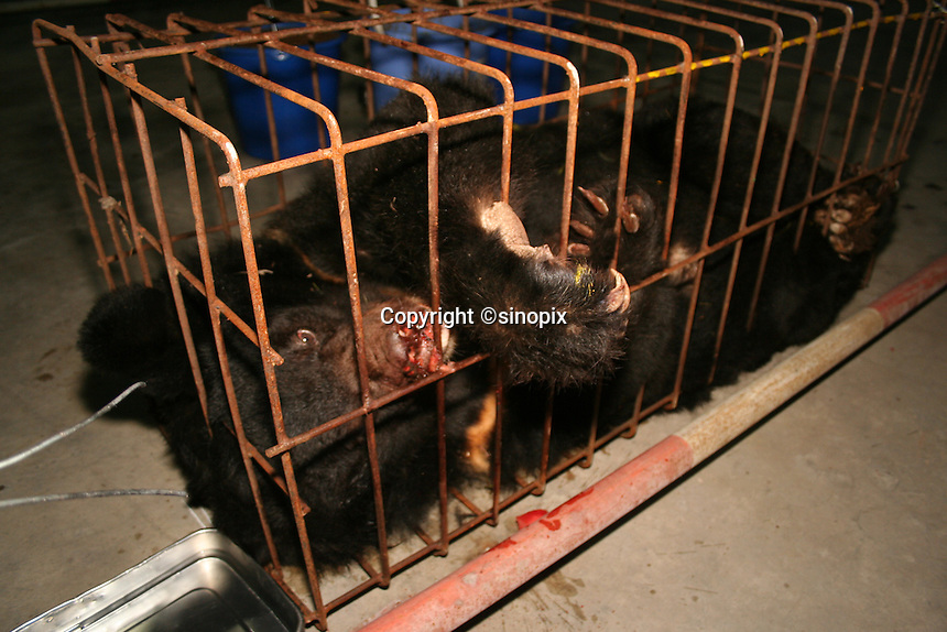 "Bear named ""KiKi"" was rescued in Chengdu, Sichuan, China conducted by Animals Asia Foundation. The foundation rescued 28 ""moon"" bears from horrendous bea-bile farms in the area. Animals Asia is run and founded by UK national Jill Robinson, M.B.E."