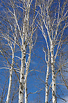 White Birches Standing Tall against a Bright Blue Winter Sky