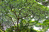 Monkey pod tree. Hawaii Tropical Botanical Gardens. Hawaii, The Big Island.