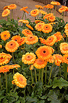 GERBERA 'GREAT SMOKY MOUNTAINS', TRANSVAAL DAISY
