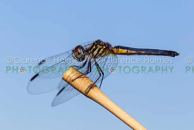 A female Blue Dasher (Pachydiplax longipennis) dragonfly perches on vegetation.