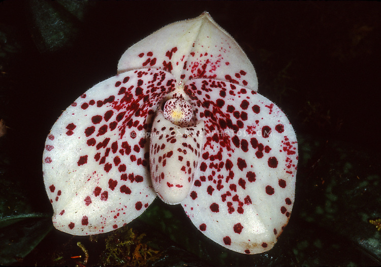 Paphiopedilum bellatulum, aka Egg-in-a-nest Orchid. Orchid species found from southeastern Yunnan, Guizhou and southern Guangxi of China to Indochina