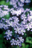Meadow Phlox or Wild Sweet William (Phlax Maculata)