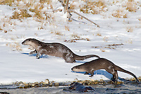 Northern River Otter (Lontra canadensis) running along edge of river.  Winter.