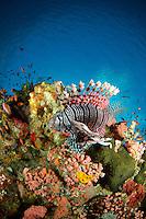 common lionfish - pterois volitans, Komodo national park, Indonesia