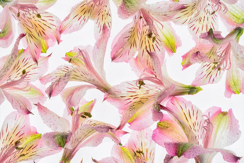 Close up of Alstroemeria flowers