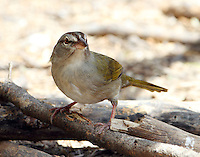 Olive sparrow