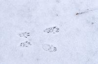 Eichhörnchen Spur, Trittsiegel, Pfotenabdrücke,  im Schnee, Sciurus vulgaris, European red squirrel