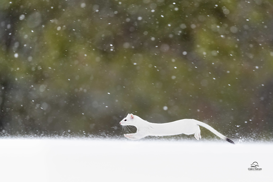 """A Long-tailed Weasel (Mustela frenata), also called the Big Stoat or Bridled Weasel (for the """"bridled"""" facial markings present in the summer months) on the hunt for some type of rodent. In Northern habitats, their dorsal fur turns white during the winter, while it is brown in summer. The tail has a distinct black tip. The long-tailed weasel moults twice annually, once in autumn (October to mid-November) and once in spring (March–April). Each moult takes about 3–4 weeks. Unlike the stoat, whose soles are thickly furred all year, the long-tailed weasel's soles are naked in summer."""