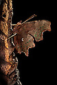 Comma butterfly  {Polygonia c-album} camouflaged on dead leaf. Peak District National Park, Derbyshire, UK. September