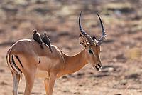 Africa, Zambia, South Luangwa National Park, impala male
