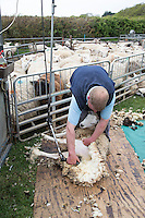 Shearing sheep - May, Norfolk