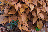 Epimedium 'Black Sea' in autumn fall foliage, perennial with biscuit tan colored autumn leaves