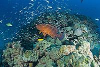 tomato grouper, Cephalopholis sonnerati, Amami-ohsima island, Kagoshima, Japan, Pacific Ocean