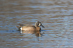 Blue-winged teal on a northern Wisconsin lake.