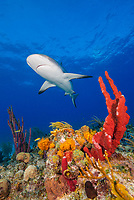 Caribbean reef shark, Carcharhinus perezii, swimming over coral reef, Bahamas, Caribbean Sea, Atlantic Ocean