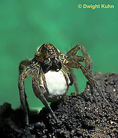 LC01-026c  Wolf Spider - with egg case - Trochosa terricola