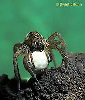 LC01-026c  Wolf Spider - with egg case - Trochosa terricola