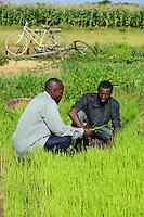 BURKINA FASO, Bobo Dioulasso, village Bama, paddy farming, production of Hybrid rice seeds for NAFASO, nursery field with rice seedlings / GIZ Projekt ProCIV Grüne Innovationszentren, WSK Reis, Reis Hybrid Saatgut Anbau fuer  Firma Nafaso, Saatgutherstellung, Reisfeld mit Setzlingen zum Umpflanzen