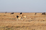 A black-backed jackal chases a lion as blue wildebeest graze in the background. Maasai Mara, Kenya