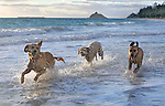 Three dogs run on Kailua Beach in Honolulu Hawaii.