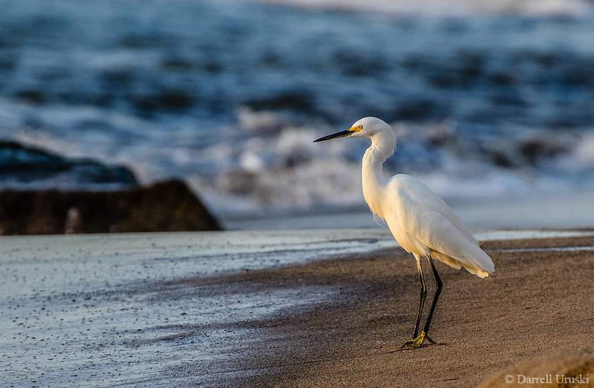 Photograph of a snowy Egret basking in the last few rays of the setting sun.