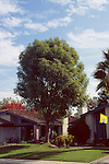 11304-CD Evergreen Ash or Shamel Ash, Fraxinus uhdei, rounded in maturity (pyramidal when young), grown as lawn tree in Bakersfield, CA USA